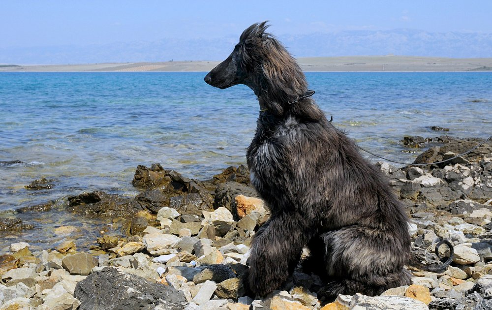 Afghan Breed Of Dogs