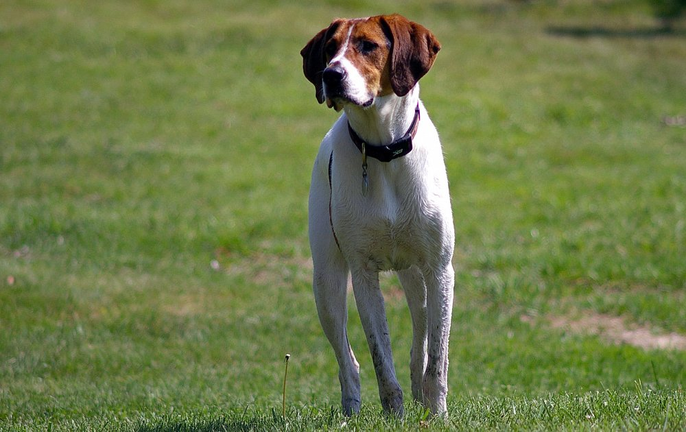 american foxhound information dog breed atlas. Black Bedroom Furniture Sets. Home Design Ideas