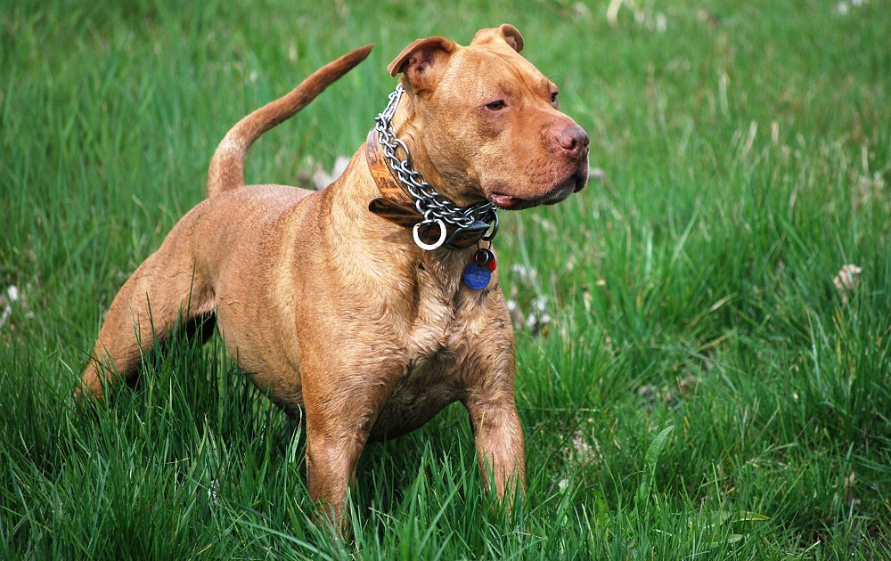 How To Breed Pitbull Dogs