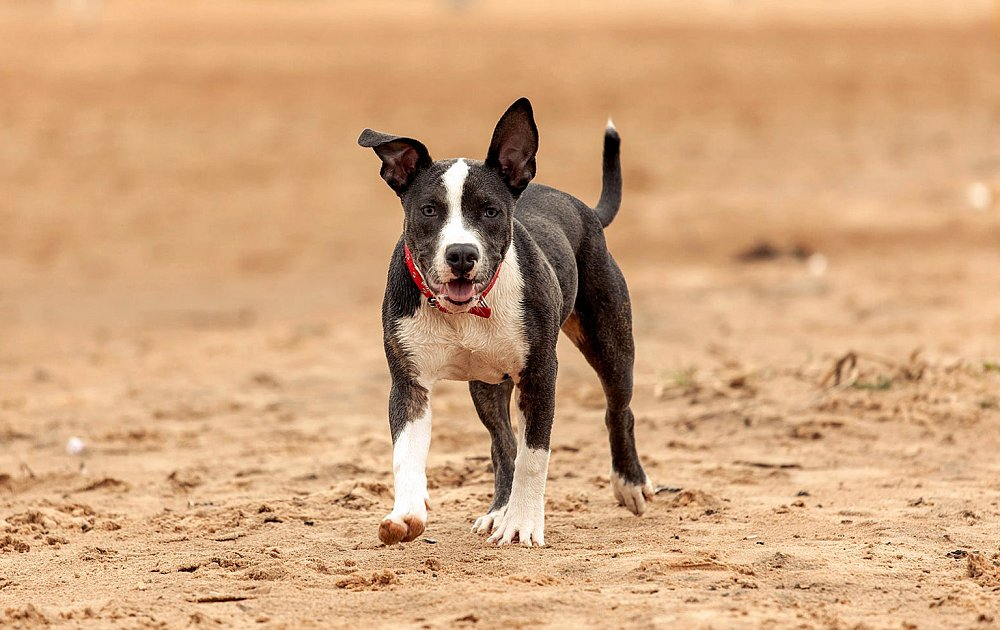 Pitbull Dogs Photos Pictures