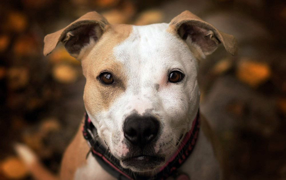 Dog Breed Pitbull Pictures