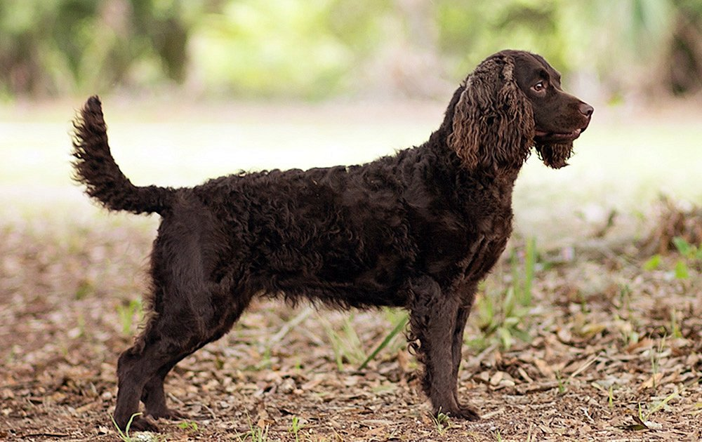 American Water Spaniel Photos Amp Pictures Dog Breed Atlas