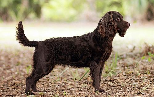 Curly Coated Retriever Information - Dog Breed Atlas American Water Spaniel Dogtime