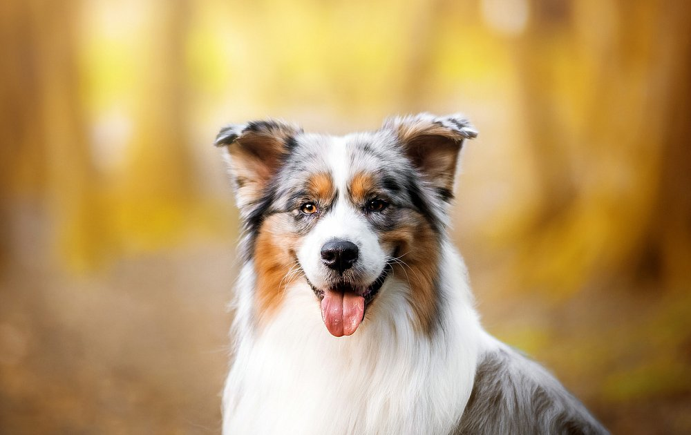 How To Breed An Australian Shepherd Dog