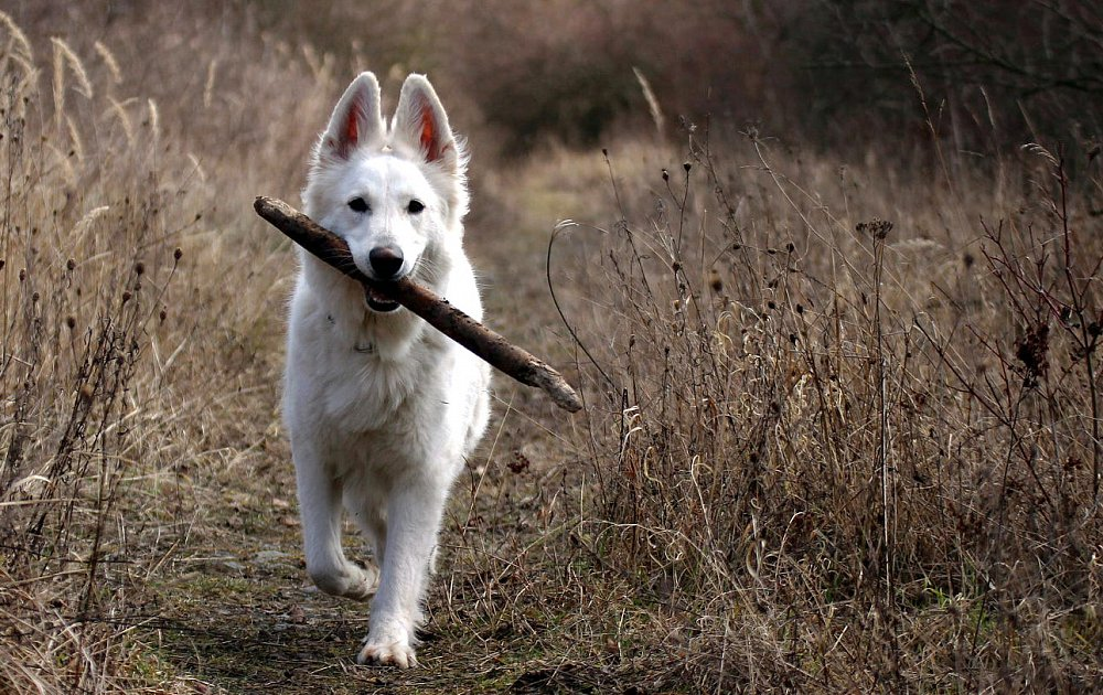 Berger Blanc Suisse Photos Amp Pictures Dog Breed Atlas