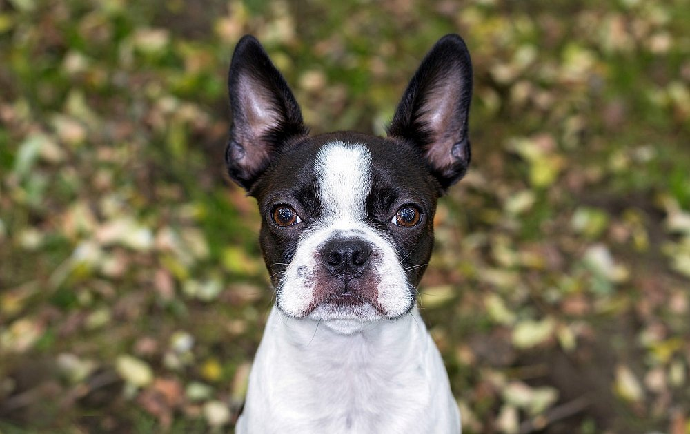 Boston Dog Breed