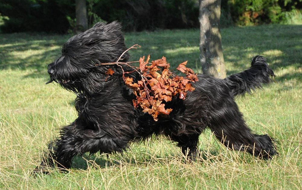 Briard Photos Amp Pictures Dog Breed Atlas