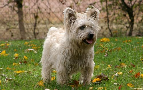 Cairn Terrier vs Scott...