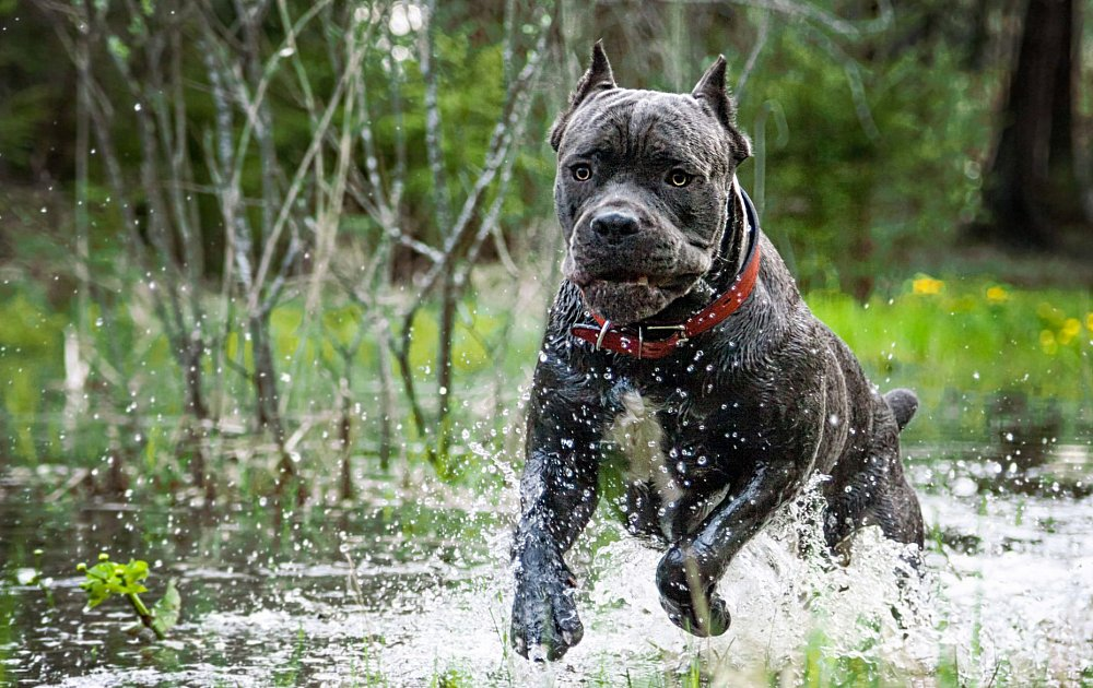Cane Corso Vs Rhodesian Ridgeback Dog Breed Atlas