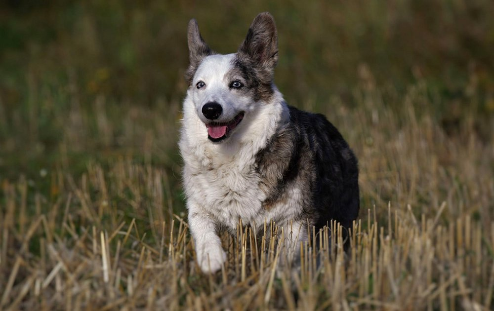Pictures Of Welsh Corgi Dogs
