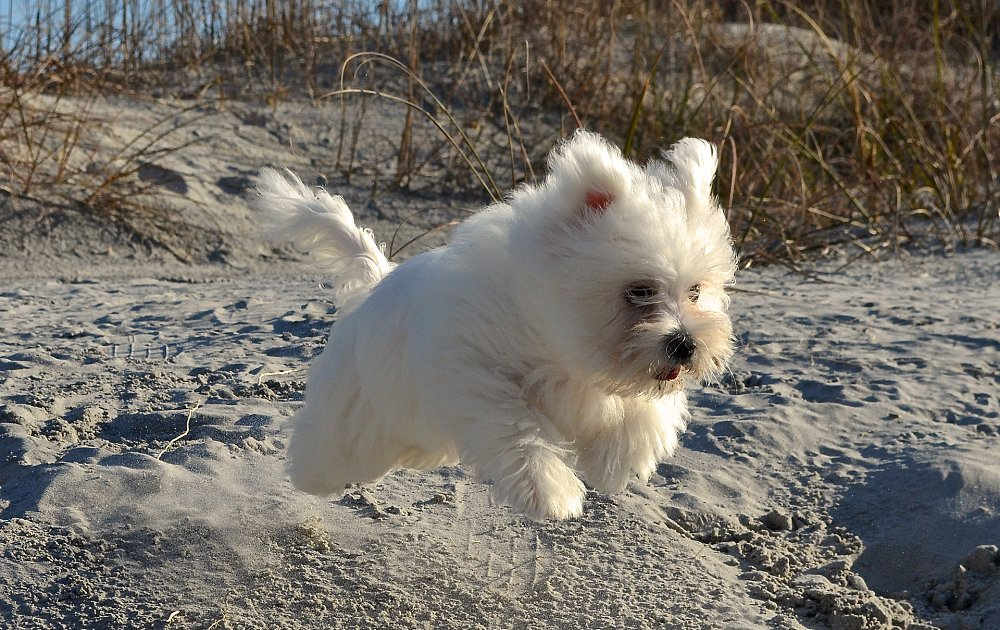 Coton de Tulear Photos & Pictures - Dog Breed Atlas