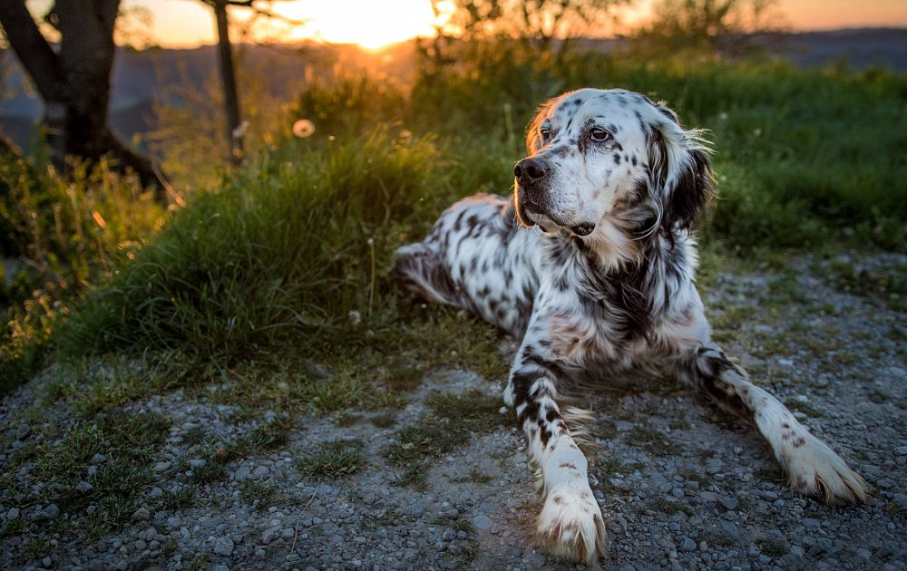English Setter Photos & Pictures - Dog Breed Atlas