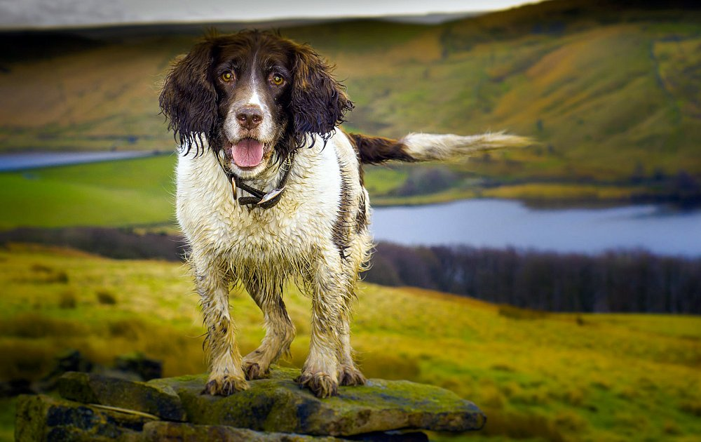 Dog Breed Springer Spaniel