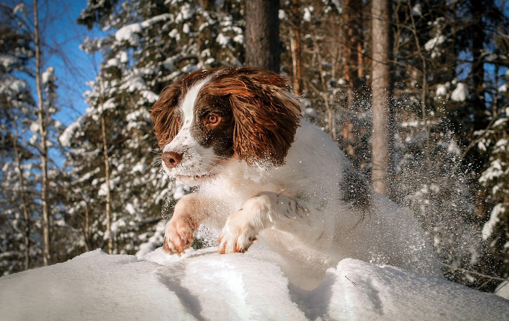 Pictures Of English Springer Spaniel Dogs
