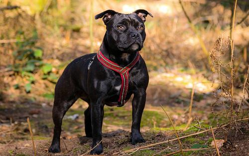 English Staffordshire Bull Terrier