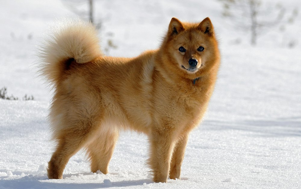 Finnish Spitz Photos Amp Pictures Dog Breed Atlas