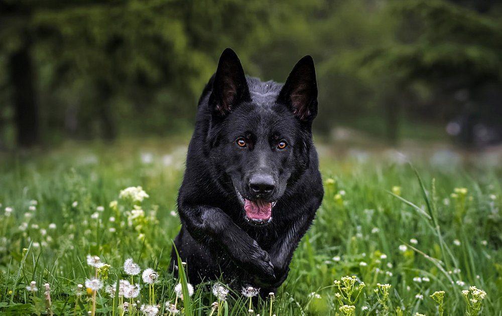 German Shepherd Dog Breed Information And Pictures