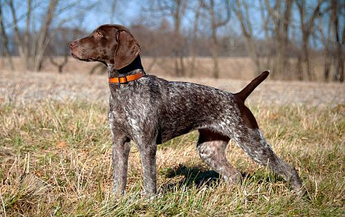 German Shorthaired Pointer Pics