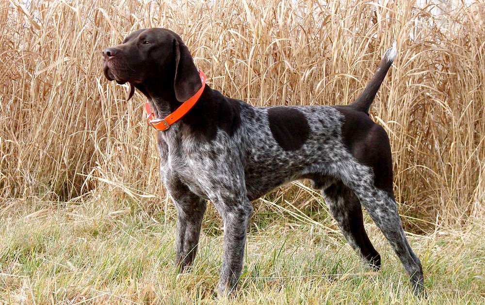 Pictures Of Pointer Dog Breeds