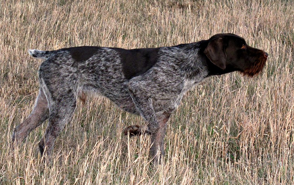 Wirehaired Dog Breeds