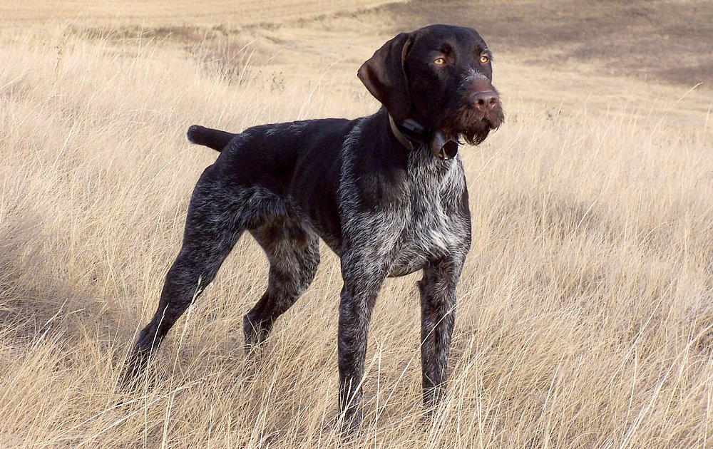 German Wirehaired Poin...