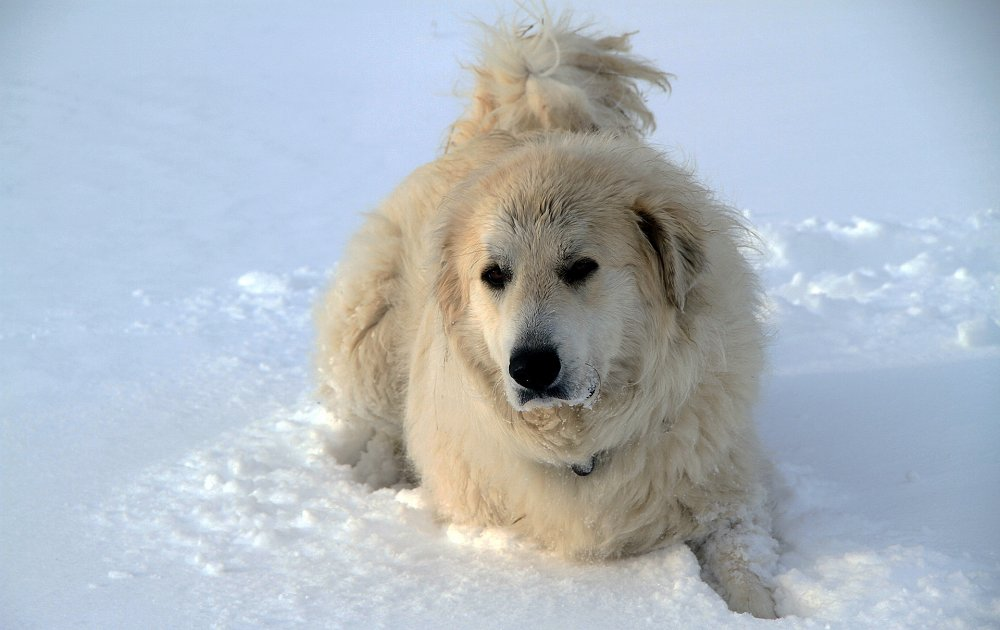 Great Pyrenees Dog Videos