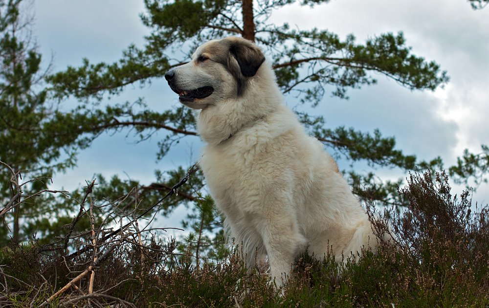 Great Pyrenees Photos & Pictures - Dog Breed Atlas