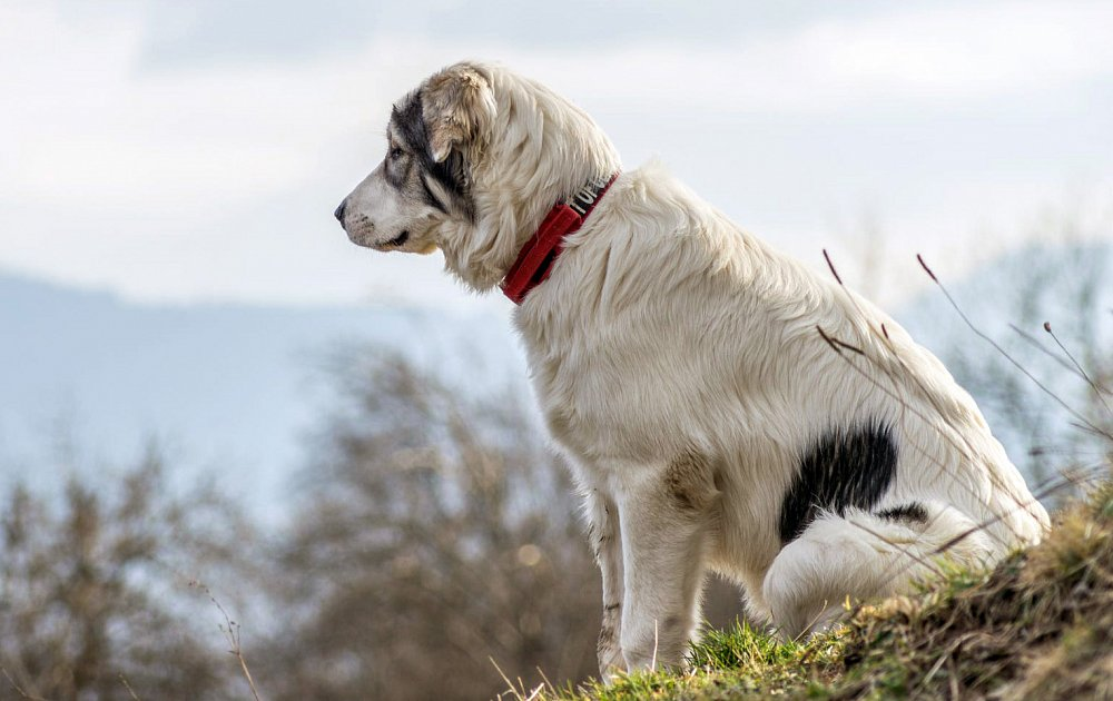 Dog Breed Great Pyrenees Pictures