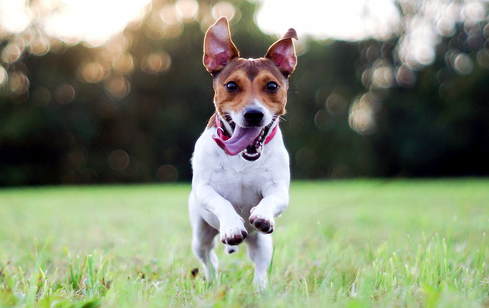 russell terrier breed jack russell terrier information dog breed atlas 1831
