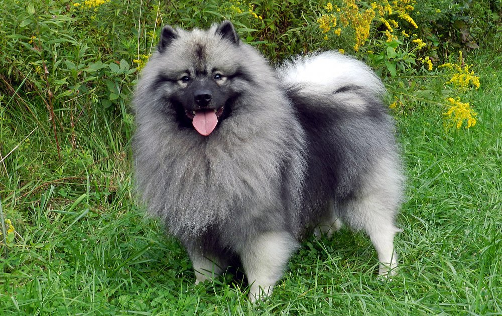 keeshond dog breed kee...