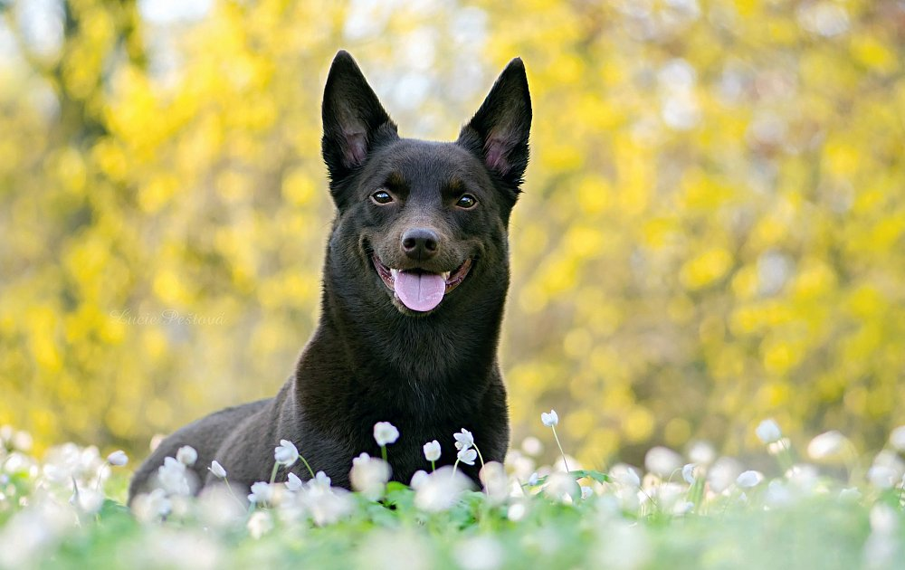 What Are The Top  Dog Breeds