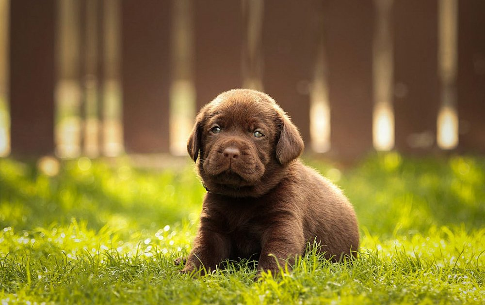 Pictures Of Labrador Dog Breed