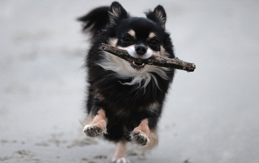 Long Haired Chihuahua Photos Amp Pictures Dog Breed Atlas