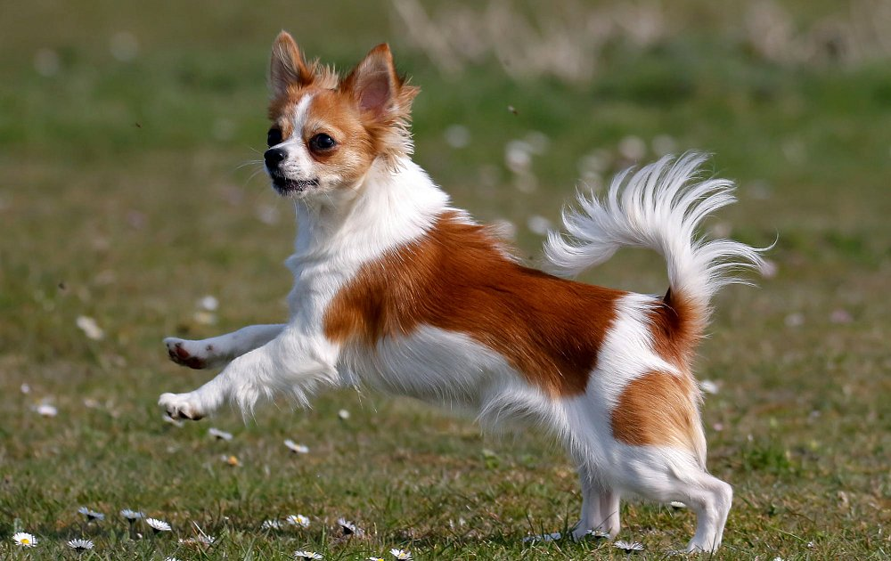 Make The Cut >> Long Haired Chihuahua Photos & Pictures - Dog Breed Atlas