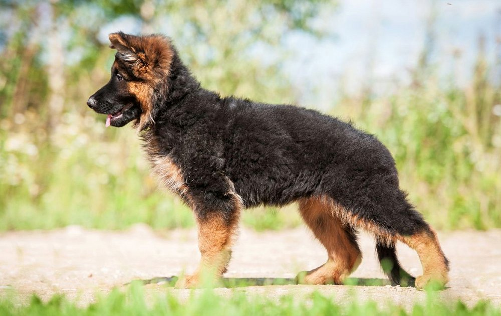 Pictures Of Long Haired Dogs