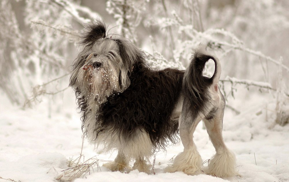 Lowchen Photos Amp Pictures Dog Breed Atlas
