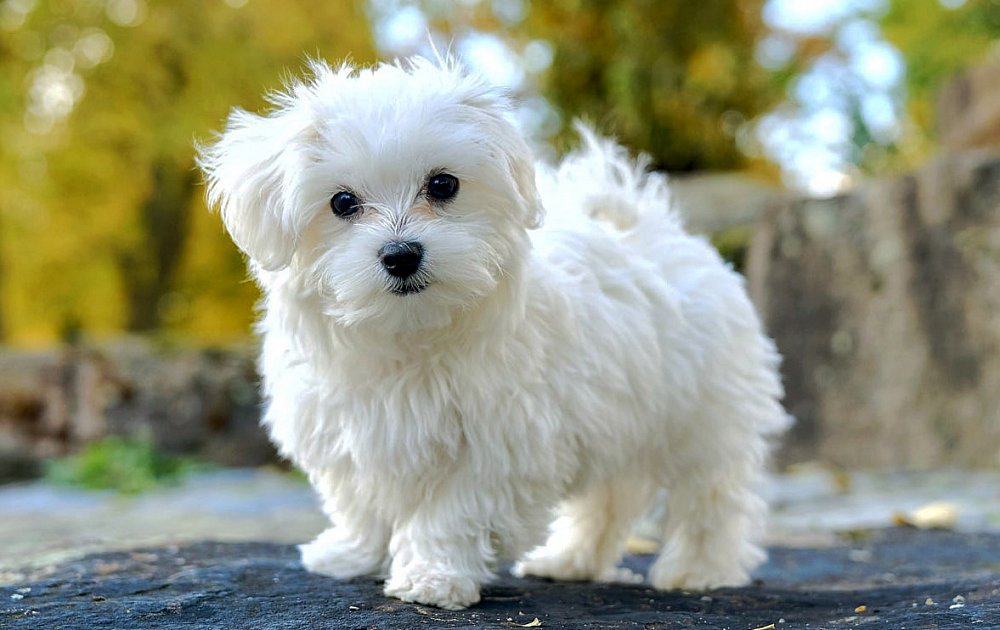 bichon frise vs maltese maltese information dog breed atlas 1896