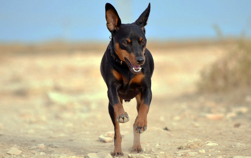Picture Of Miniature Pinscher Dogs
