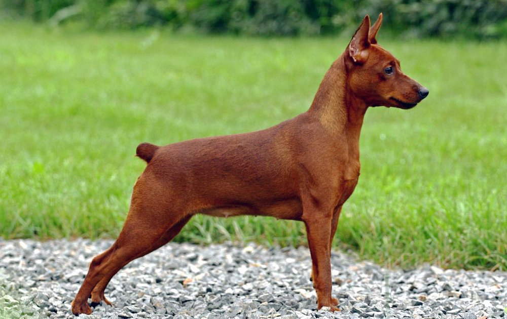 Pinscher Breed Dog