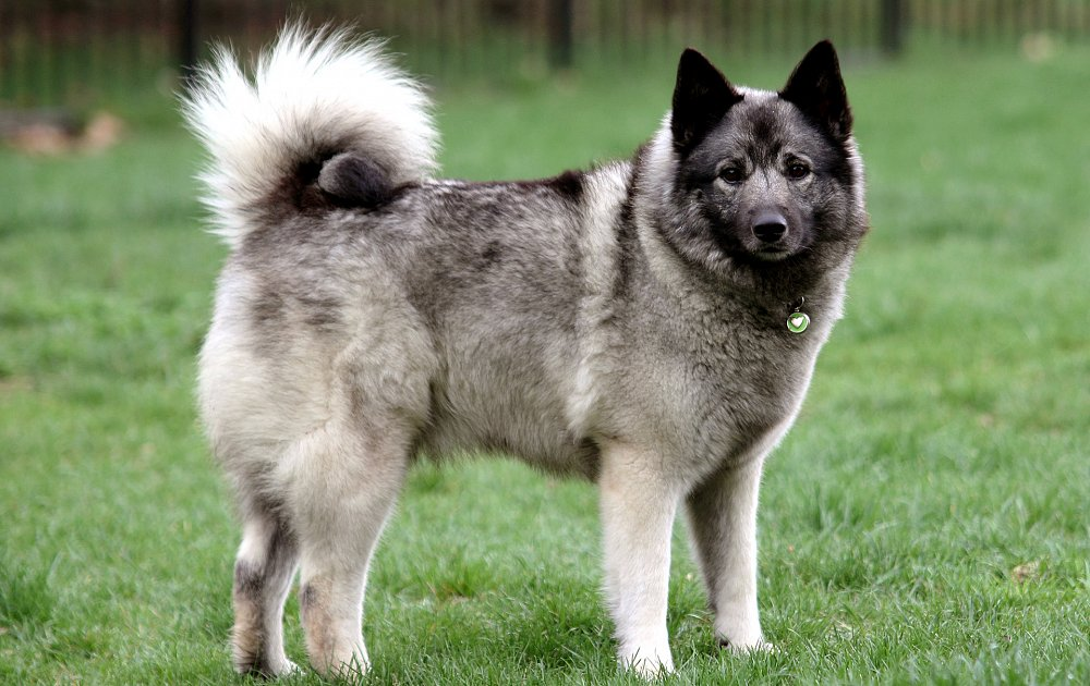 norwegian elkhound information dog breed atlas