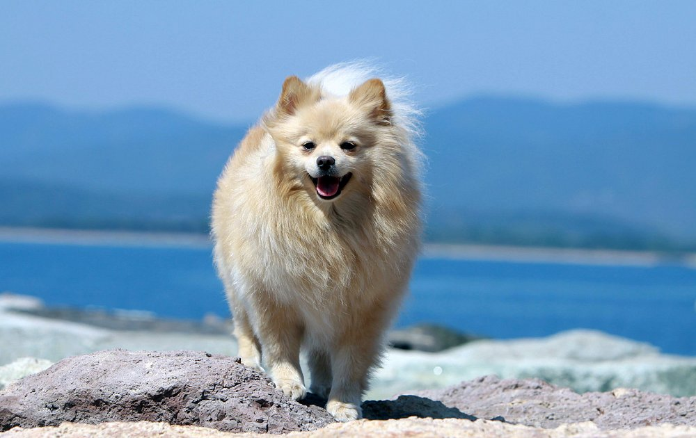 Pictures Of Pomeranian Dogs