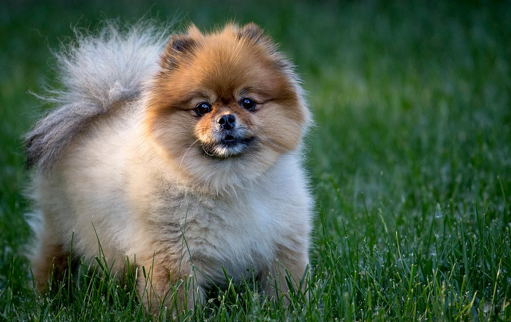 pomeranian dog breed information and pictures - 1000×630