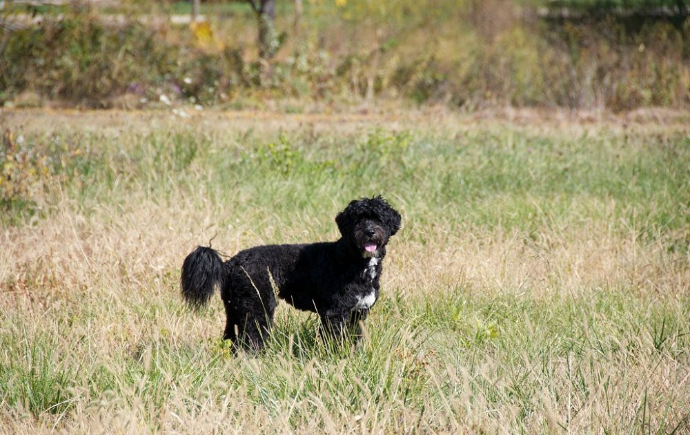 Portuguese Water Dog Video