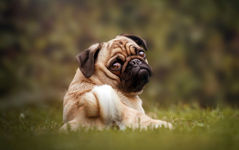 Pug Dog Breed Information
