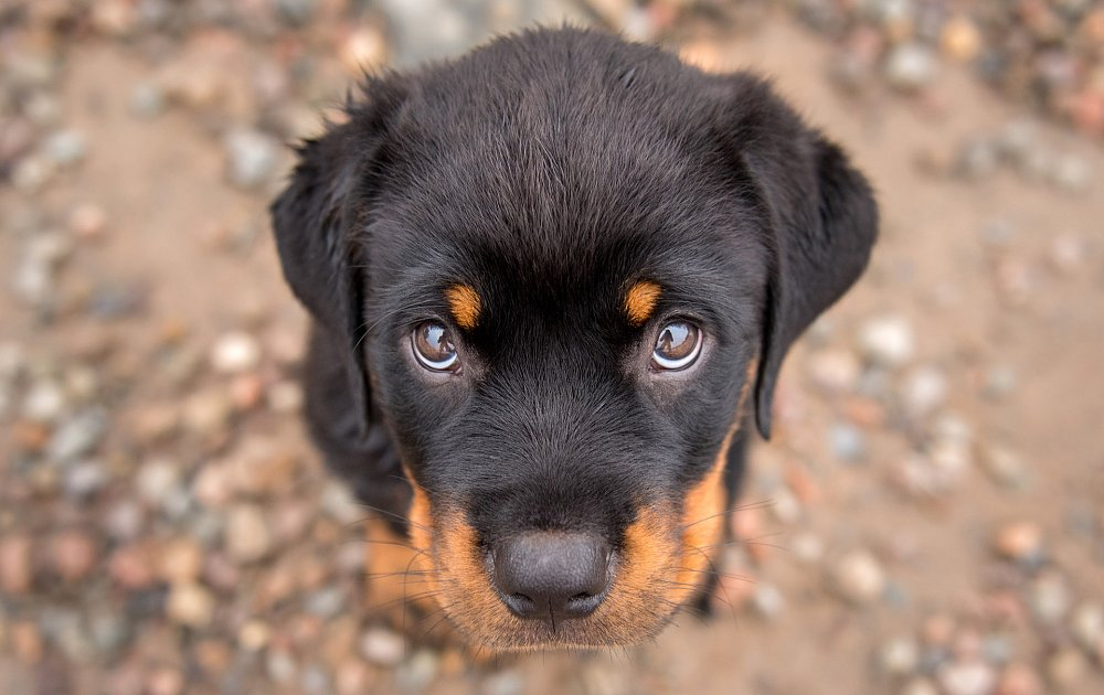Rottweiler Photos Amp Pictures Dog Breed Atlas