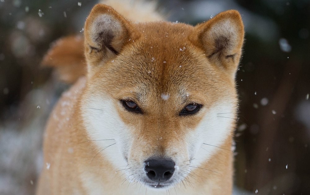 Shiba Inu Photos Amp Pictures Dog Breed Atlas