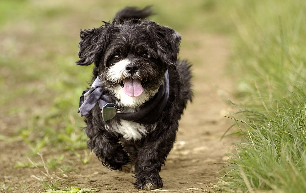 shih tzu life span in human years shih tzu information dog breed atlas 4985