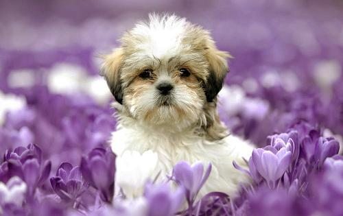 Shih Tzu Information - Dog Breed Atlas