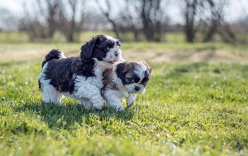 shih tzu life span in human years shih tzu information dog breed atlas 3690