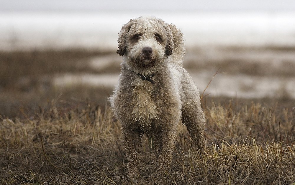 Water Dogs Breed
